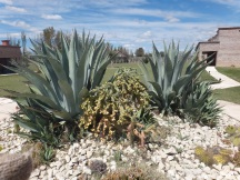 The agave and cactus garden